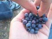 owoce borówki amerykańskiej