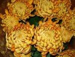 Chryzantema wielkokwiatowa